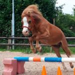 Welsh-A pony
